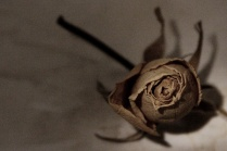 Could It Be a Faded Rose? . . .