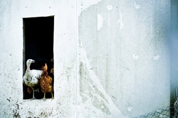 Chickens in the Pen