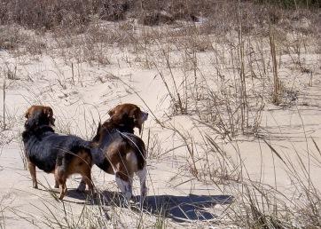 Beach Beagles